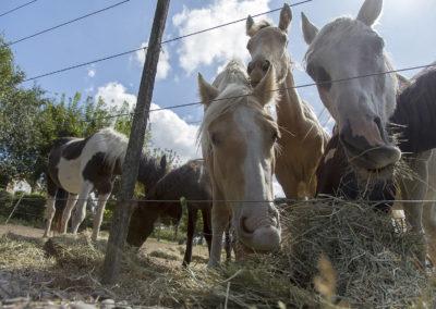 Auburn Horses
